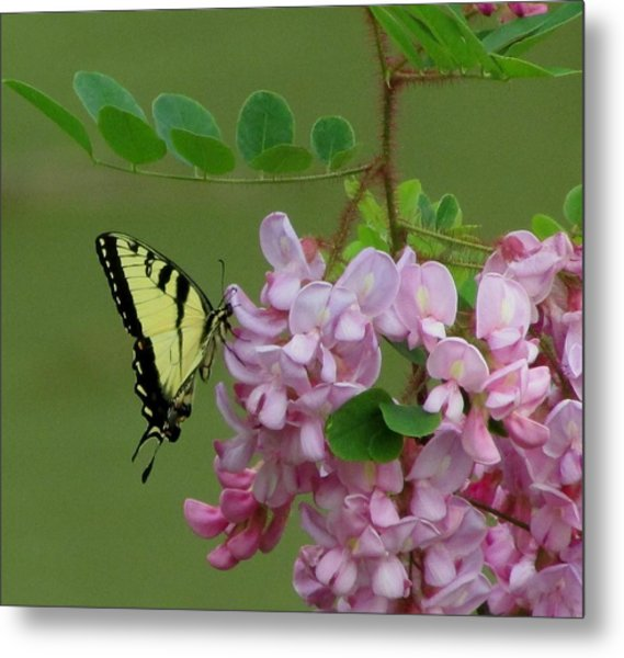 Monarch On Locust Metal Print by Carol Hoffman