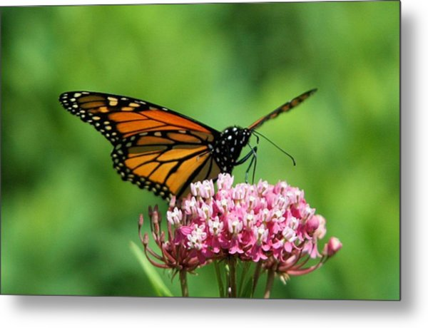 Monarch On Pink Wildflower Metal Print