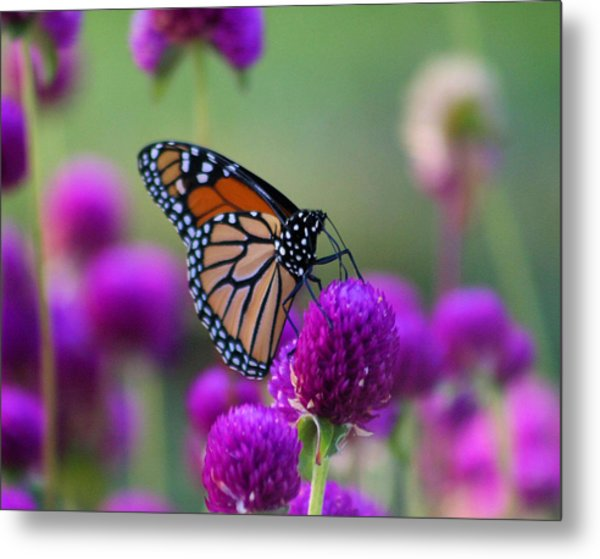 Monarch On Purple Flowers Metal Print