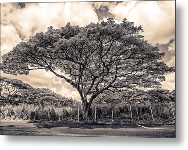 Monkey Pod Tree Metal Print