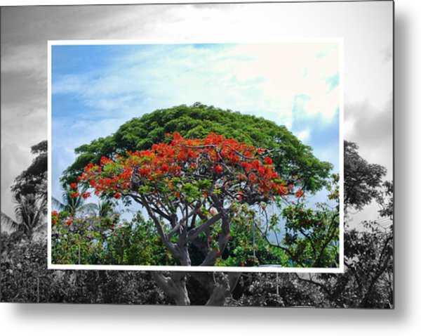 Monkey Pod Trees - Kona Hawaii Metal Print