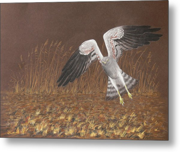 Montagus Harrier Metal Print by Deak Attila