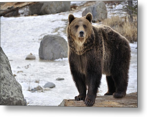 Montana Grizzly  Metal Print