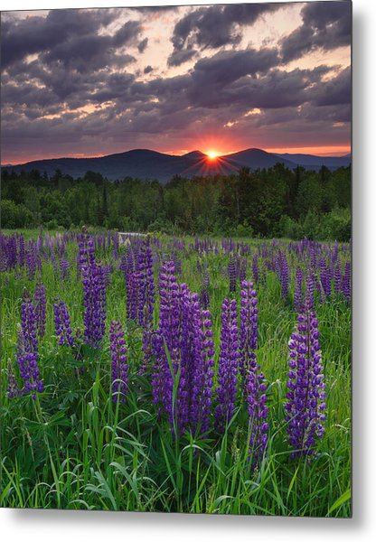 Moody Sunrise Over Lupine Field Metal Print
