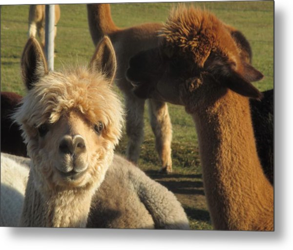 Moonacre Alpacas 2 Metal Print