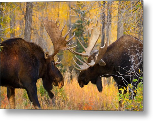 Moose Battle Metal Print