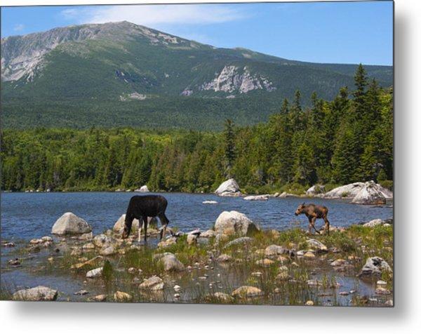 Moose Baxter State Park Maine Metal Print