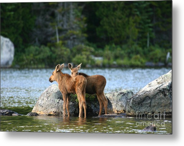 Moose Calves In Maine Metal Print
