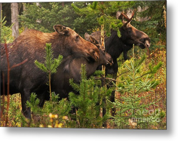 Moose Family At The Shredded Pine Metal Print
