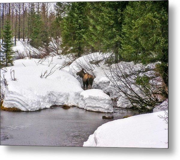 Moose In Alaska Metal Print