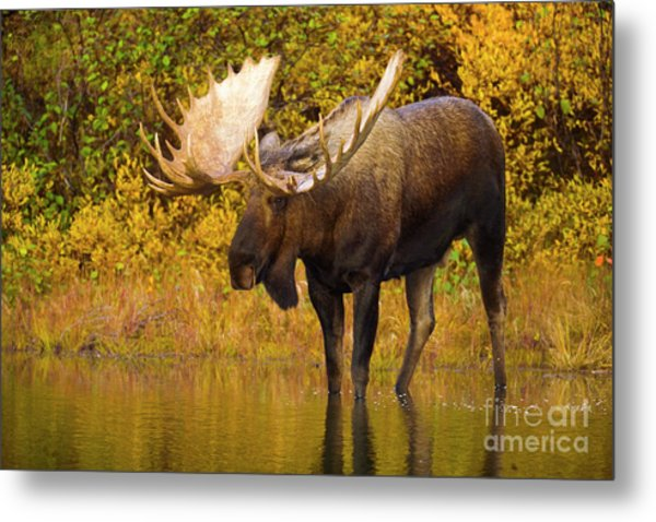Moose In Glacial Kettle Pond  Metal Print