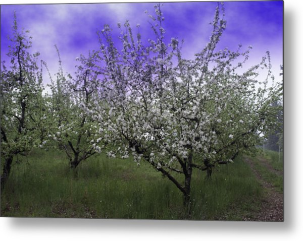Morning Apple Blooms Metal Print