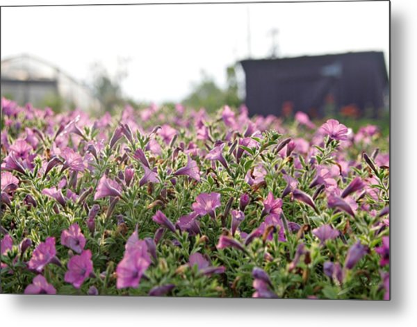 Morning Bugles Metal Print