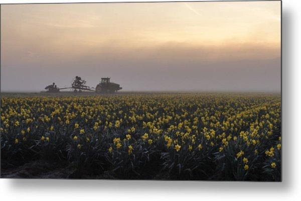 Morning Daffodil Fog Metal Print