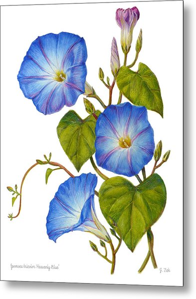 Morning Glories - Ipomoea Tricolor Heavenly Blue Metal Print