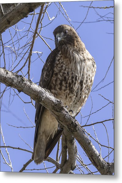 Morning Hawk Metal Print