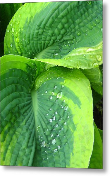 Morning Rain Hosta Metal Print