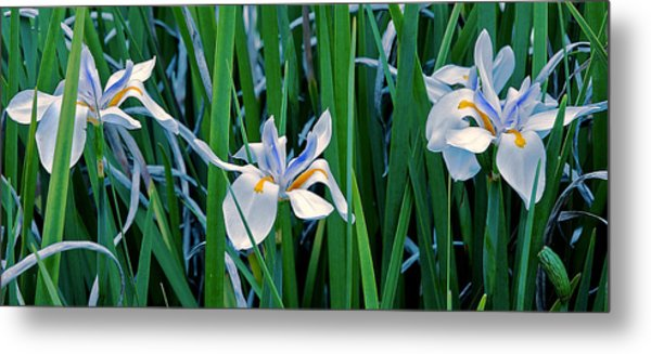Metal Print featuring the photograph Morning Smile - Wild African Iris by Donna Proctor