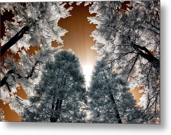 Morning Sun And Pines Metal Print