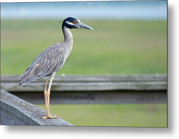 Morning Treasure Night Heron Metal Print