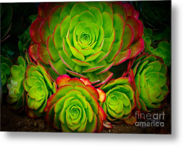 Morro Bay Echeveria Metal Print