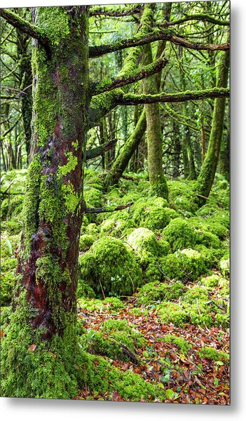 Moss Covered Trees In Killarney Metal Print
