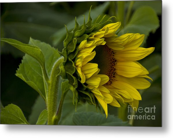 Mostly Open Sunflower Metal Print