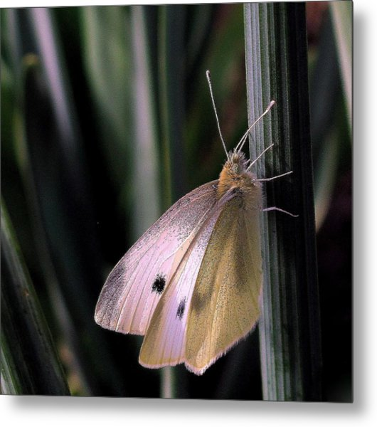 Moth In Light Metal Print