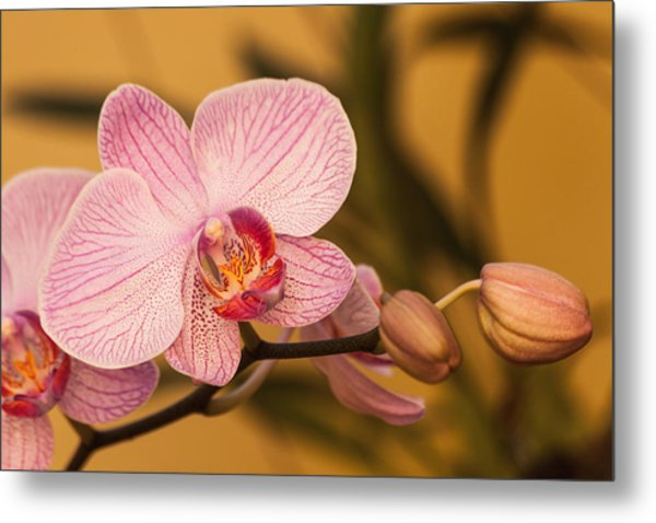 Metal Print featuring the photograph Moth Orchid by Ed Gleichman