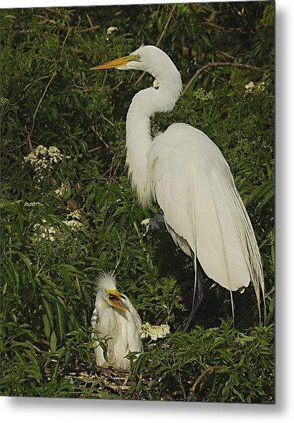 Mother And Baby Egret Metal Print by Wynn Davis-Shanks