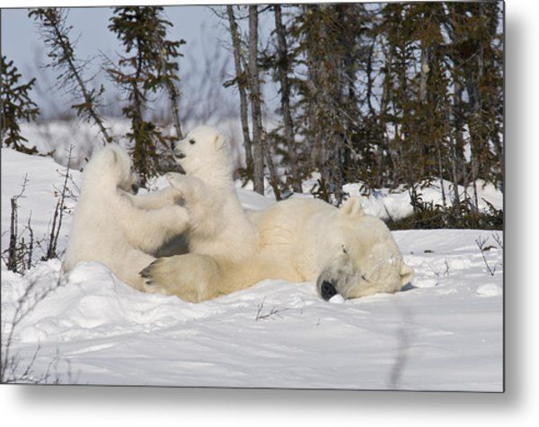 Mother Polar Bear Sleeps While Her Cubs Play Metal Print