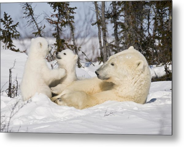 Mother Polar Bear Watches Her Cubs Play Metal Print