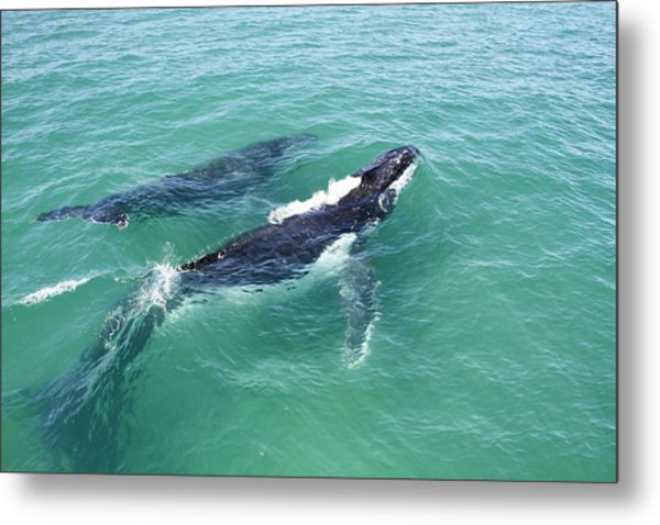 Mother Whale And Calf Metal Print