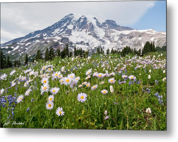 Mount Rainier And A Meadow Of Aster Metal Print