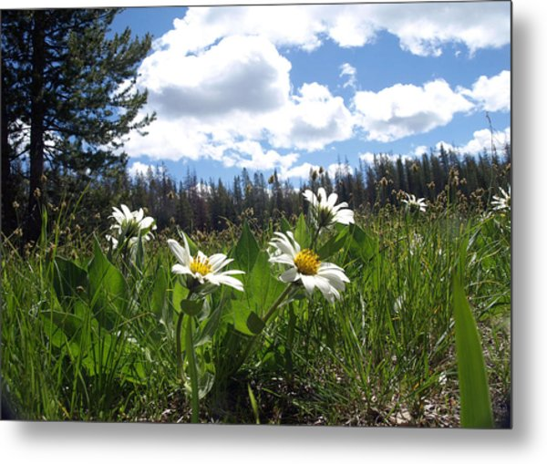 Mountain Daisies Metal Print