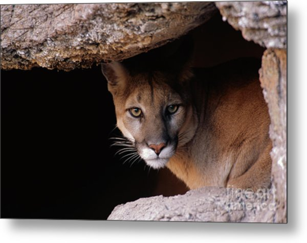 Mountain Lion Peering From Cave Metal Print