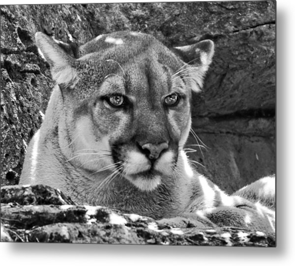 Mountain Lion Bergen County Zoo Metal Print