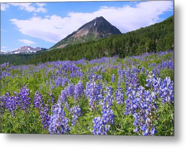 Mountain Lupine Meadow Metal Print