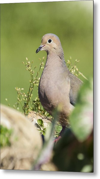 Mourning Dove 2 Metal Print
