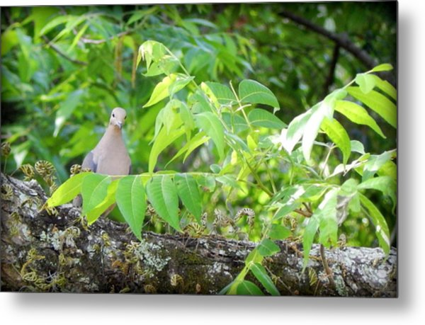 Mourning Dove Metal Print by Lynn Griffin
