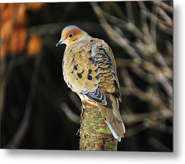 Mourning Dove On Post Metal Print