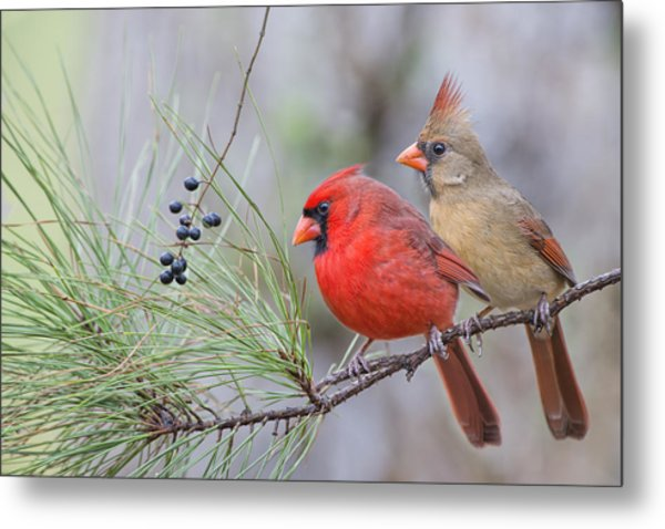 Mr. And Mrs. Redbird In Pine Tree Metal Print