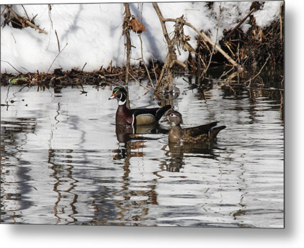 Mr. And Mrs. Wood Duck Metal Print by Jill Bell