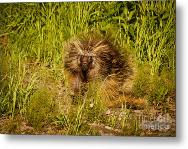 Mr. Porcupine Metal Print