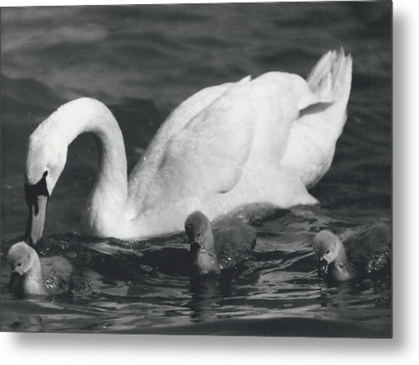 Mrs, Swan And Her Kids Enjoy Spring - Sun Metal Print by Retro Images Archive