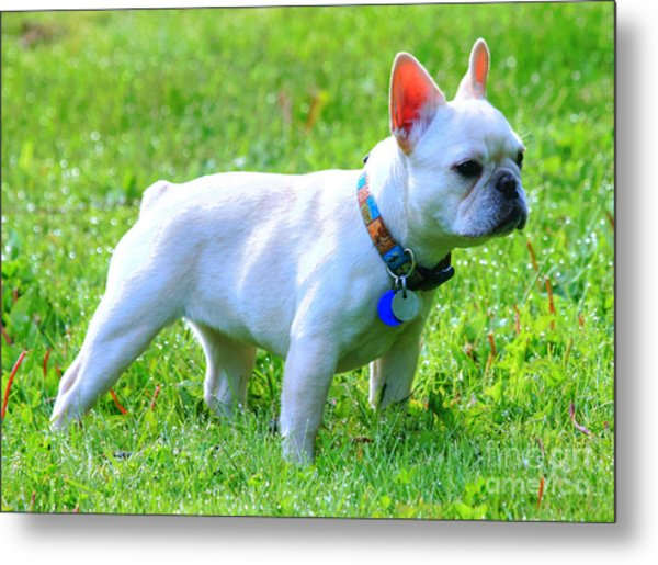 Ms. Quiggly - French Bulldog Metal Print