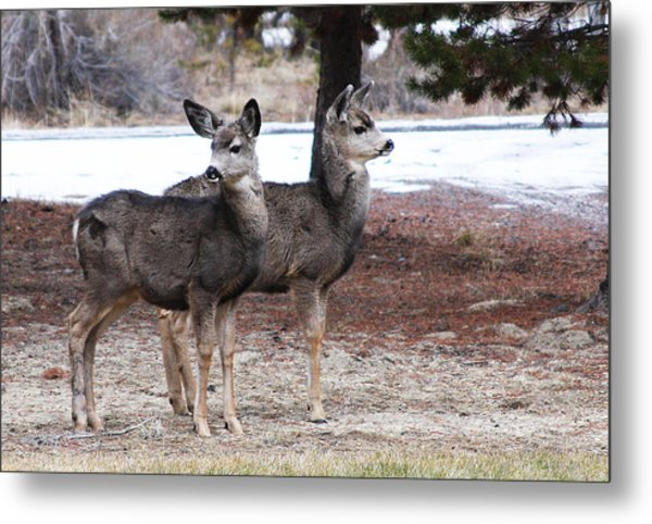 Mule Deer Fawns Metal Print