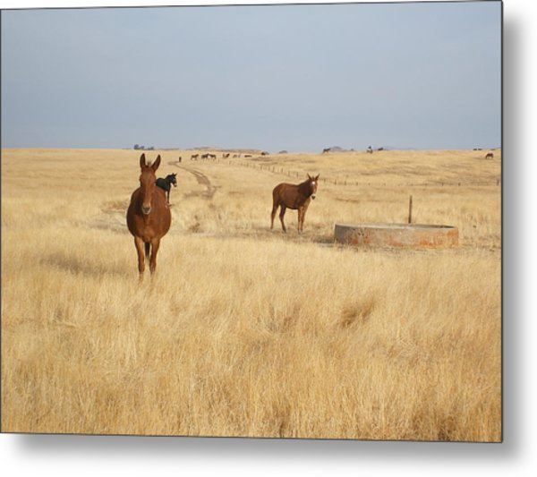Mules In Gold Grass Metal Print