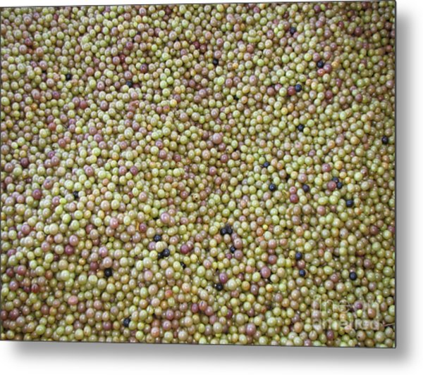 Muscadine Grapes Metal Print by Gayle Melges