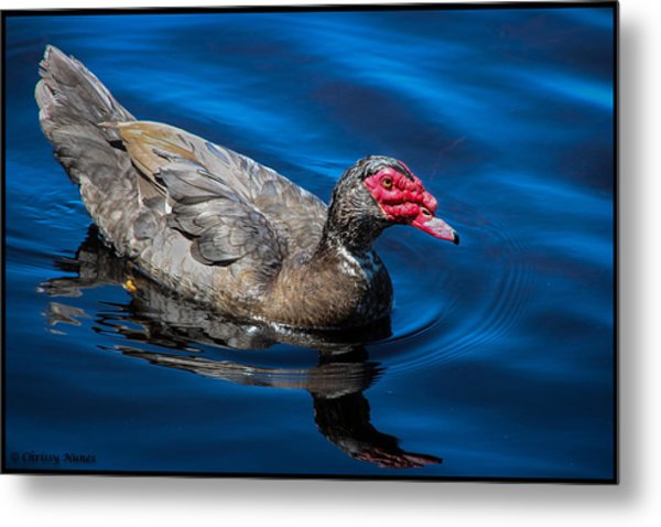 Muscovy Duck Metal Print by Christine Nunes